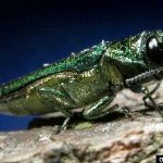 Emerald Ash Borer. Photograph by: David Cappaert. http://www.forestryimages.org/